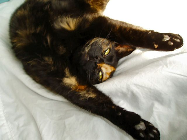 Tortoiseshell Cats Picture Gallery: Isabelle