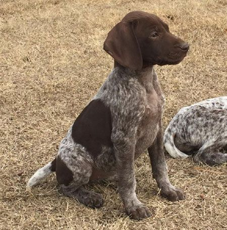 german shorthaired pointer feeding guide