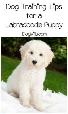 How Should a Labradoodle Puppy Be Trained? With loads of patience! Check out our dog training tips for this goofball breed!