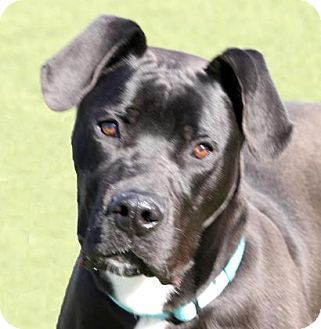 Wichita, KS - Great Dane Mix. Meet Dumbledore, a dog for adoption. http://www.adoptapet.com/pet/17898448-wichita-kansas-great-dane-mix