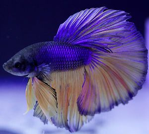 Halfmoon BETTA male- yellow and blue- big flowing fins LIVE FISH