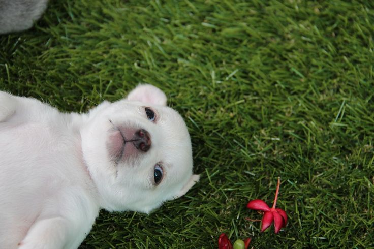 Chihuahua   http://how-to-train-a-dog.com/