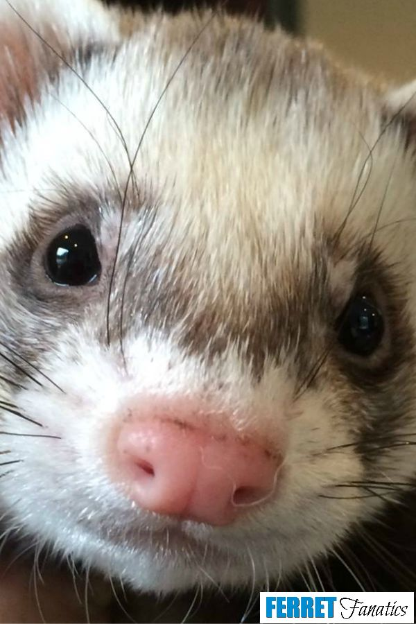 Oltre Fantastiche Idee Su Rescue Ferret Su Pinterest Furetto - Rescued kitten adopted by ferrets now thinks shes a ferret too