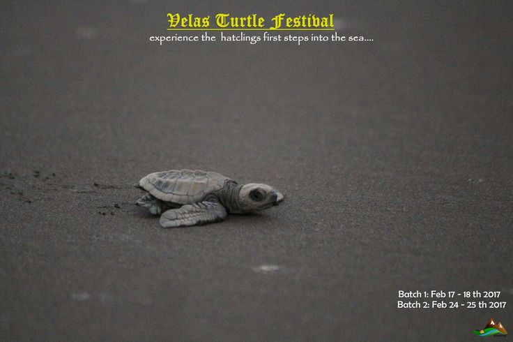 #velas #turtle #festival #experience #hatchligs #first #steps into #sea #sand #ocean #velasturtlefestival #turtles #conservation #project #coastal #maharashtra #india #beautiful #happy #emotional #moments #weekend #trip with #ramblersindia #meetup  #facebook #olive #ridley #breed #reptiles