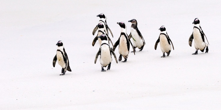 Penguins of the Cape...