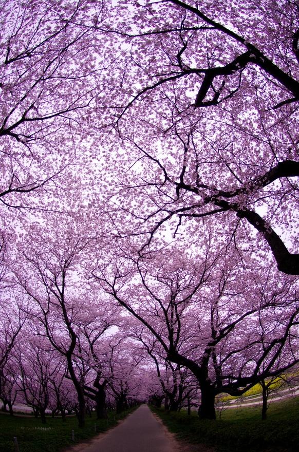 Gongendo ,Saitama ,Japan: Imagine getting married under these beautiful trees?