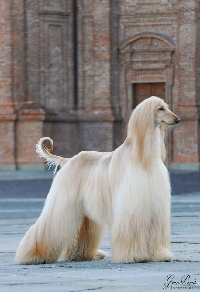 Afghan Hound Dogs ~ one of the oldest dog breeds in existence. Known for being aloof, dignified, and for having highly individualized personality.