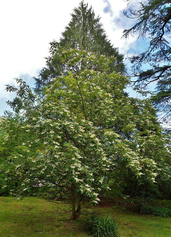 Clethra Barbinervis White Alder Tree Garden