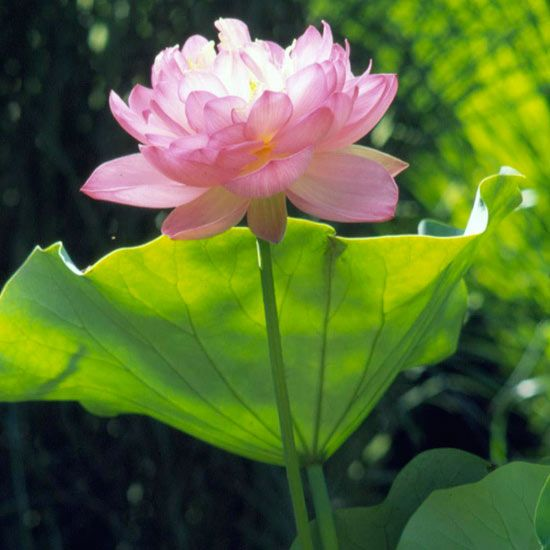 Elegant lotus adds pretty color to water gardens. More flowers for water gardens: http://www.bhg.com/gardening/landscaping-projects/water-gardens/best-plants-for-your-water-garden/?socsrc=bhgpin050413lotus