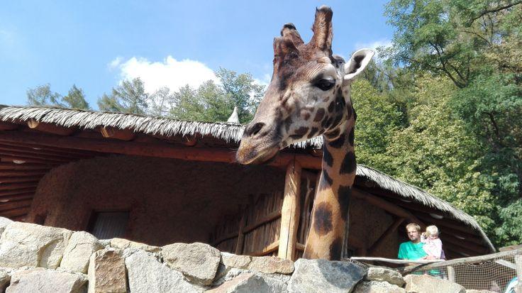 Giraffe queen 👑
