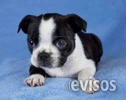 cachorros boston terrier 100% puros lindos cachorritos boston terrier garantizados se entregan .. http://bogota-city.evisos.com.co/cachorros-boston-terrier-100-puros-id-450764