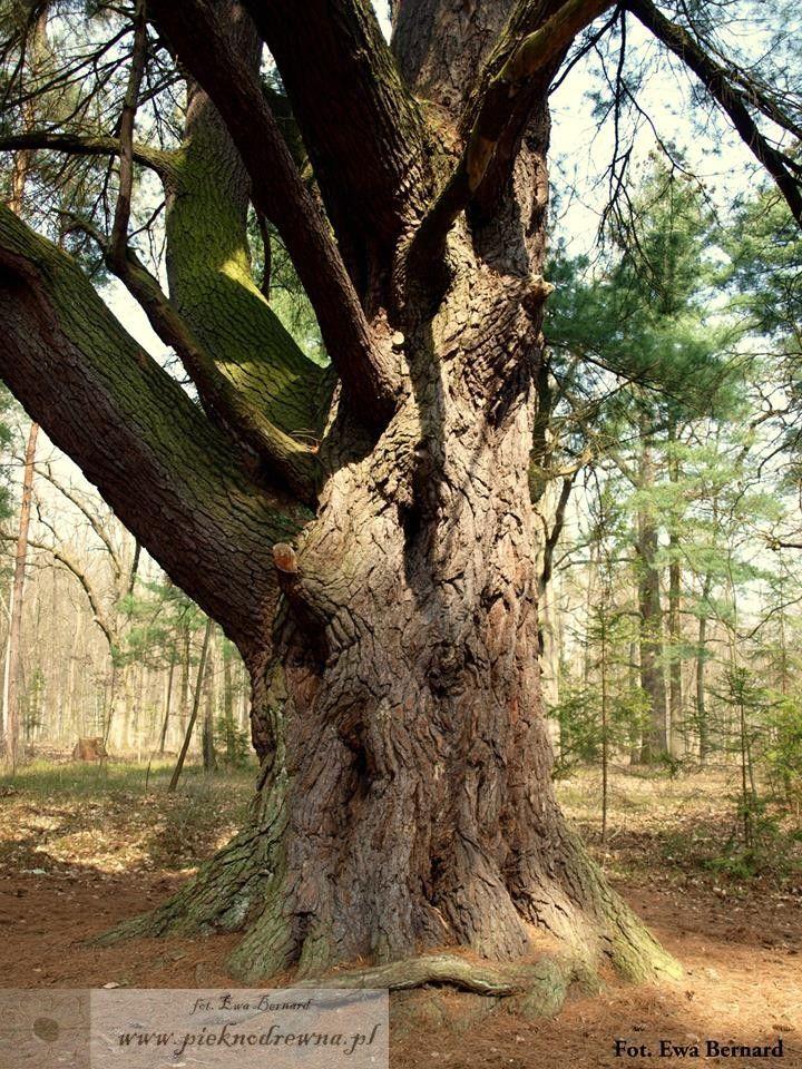 Najgrubsza polska sosna wejmutka – obwód: 521 cm; wysokość: 33 m; rośnie w miejscowości Pokój w województwie dolnośląskim