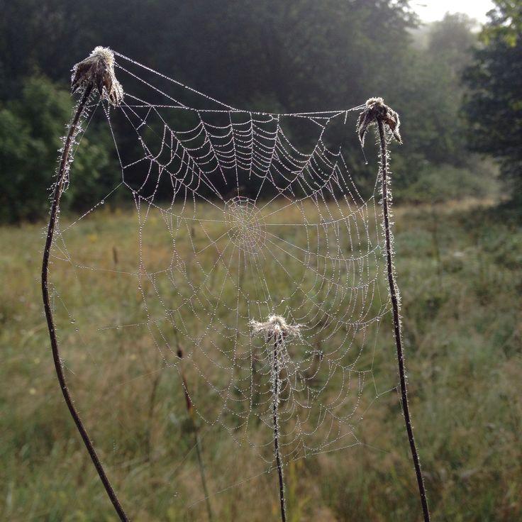 Spindelnät med dagg