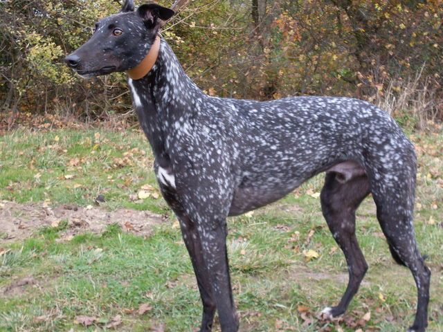rare spotted greyhound, whoa!  I've never seen a spotted greyhound:). Gorgeous!