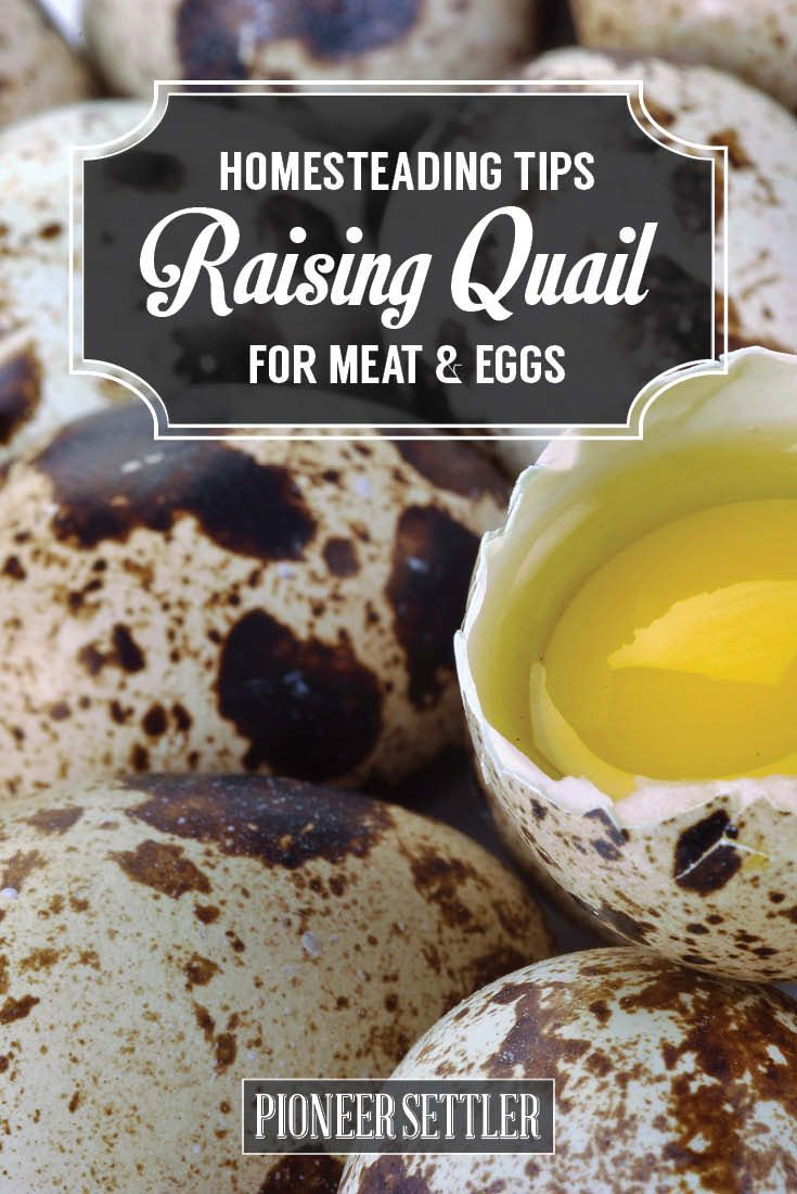 Raising Quail - Homestead Tips For The Best Quail Eggs | Self Sufficiency Ideas by Pioneer Settler at http://pioneersettler.com/raising-quail-homestead-tips-for-the-best-quail-eggs/