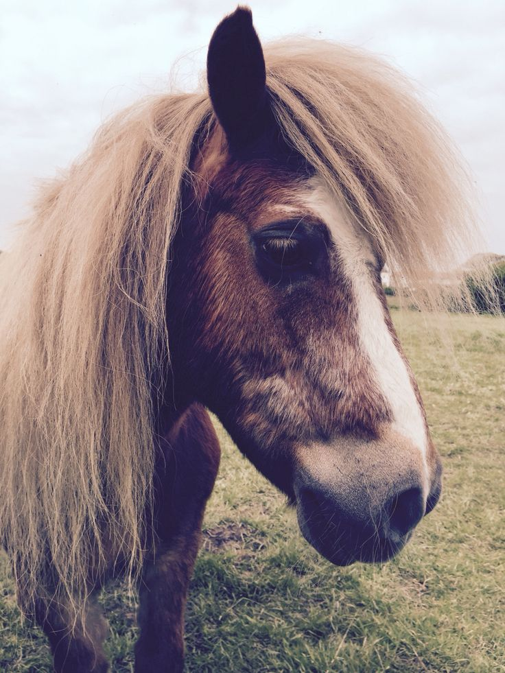 Beautiful Shetland Pony