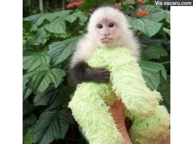 Lovely marmosets and Capuchin. Monkeys for sale