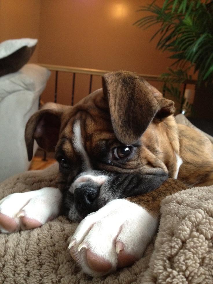 boxer/bulldog pup