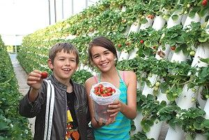 Strawberry picking at Ricardoes Tomatoes, port macquarie area