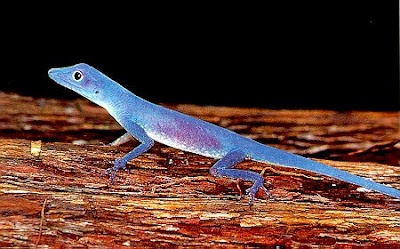 A blue lizard. Simply amazing.