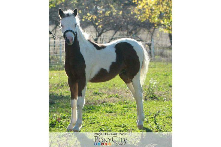 American Shetland Pony for Sale on www.PonyCity.com