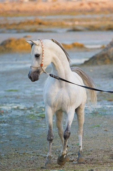 Arabian Horse on the beach. Gorgeous white, Grey gray color, proud head. Lovely horse photography