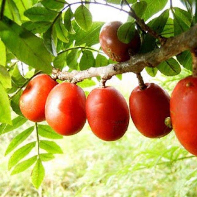 Seriguela: uma autêntica brazillian berry! Como toda fruta silvestre, intocada pela hibridização agricultural, é excepcionalmente rica em vitaminas, sais minerais e antioxidantes, além de moléculas e princípios ativos exclusivos (que cada planta contém). O mais incrível da Seriguela é o seu sabor explosivo, ao mesmo tempo doce, azedo e cremoso. Uma das minhas frutas favoritas!!