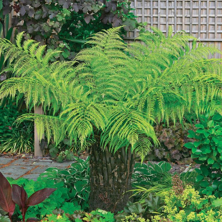 Tree Fern, Australian Tree Fern Exotic Plants how to grow. From the tropical garden board