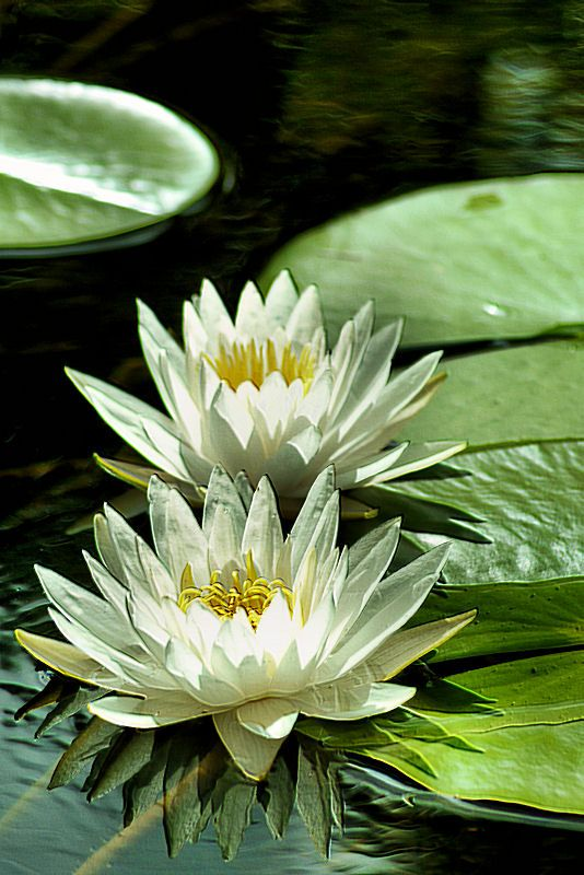 how to draw water lily pond