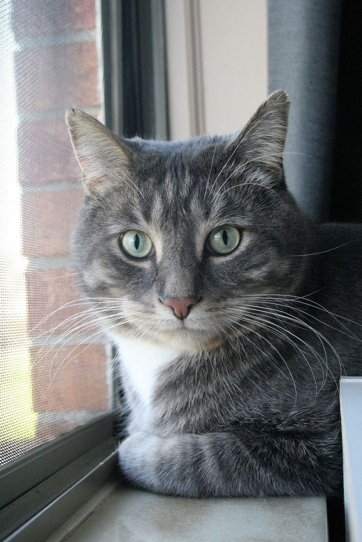 1000+ ideas about Grey Tabby Cats on Pinterest | Tabby ...