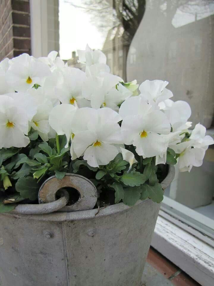 Lots of pansies of one colour in a big zinc bath