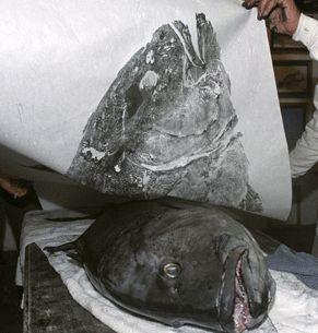 """Printing-Gyotaku (gyo-tah'-koo, """"frotar"""" y """"pescado""""). El método directo o chokusetsu-ho, en el que se aplica la tinta directamente sobre el pez y se deposita el papel encima frotando hasta obtener la impronta. Es de mayor dificultad, pero capaz de registrar con precisión las textura de las escamas y la transparencia de las aletas. El segundo, método indirecto o kansetsu-ho es menos preciso y se realiza aplicando el color con una muñequilla sobre el papel apoyado sobre el animal."""
