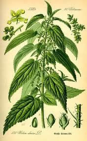 Nettle Root is a herbal remedy that has been used for centuries and was traditionally applied topically to relieve pain. Nettle Root is also used for its anti-inflammatory effects caused by prostaglandins and is helpful for allergy symptoms.    Nettle Root also contains fiber, iron, magnesium, calcium, vitamin A and C, and protein. www.acuatlanta.net