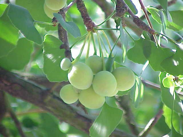 Ginkgo_biloba : Quelques recettes avant le dancing. En cas de respiration sifflante, de toux persistante ou d'asthme, il suffit de se préparer une décoction à partir de 3 à 4 « graines » tirées de l'ovule, infusées dans 60 cl d'eau, 3 fois par jour. La médecine traditionnelle chinoise utilise les feuilles pour traiter les maladies cardiovasculaires. Elle préconise une infusion de 40 à 60 g de feuilles pour un litre d'eau, trois fois par jour également.
