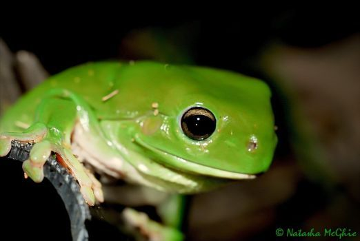 Green Tree Frog by TypicalTash
