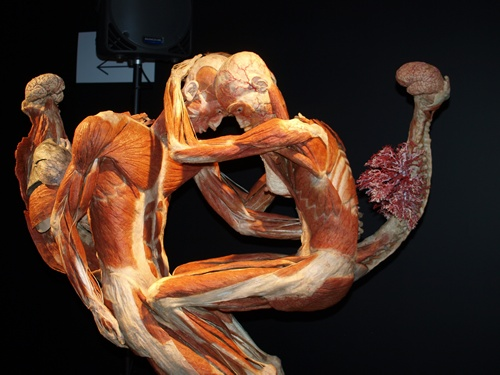 142 best anatomy : muscle images on pinterest | human body, muscle, Muscles