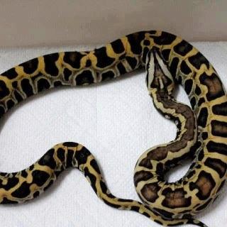 Best 25+ Burmese python ideas on Pinterest   Snakes ...
