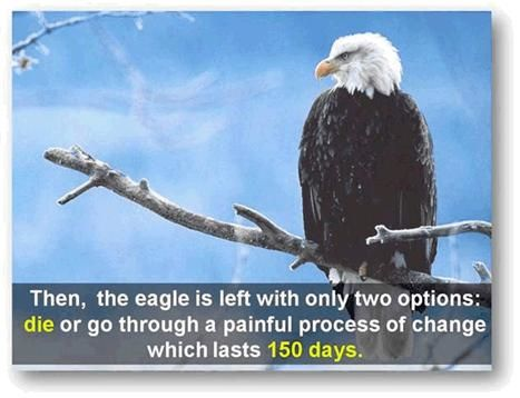 The bald eagle is the longest living bird on earth. The story of its life might just fascinate you. Especially the decision it has to make in its forties in order to continue living.