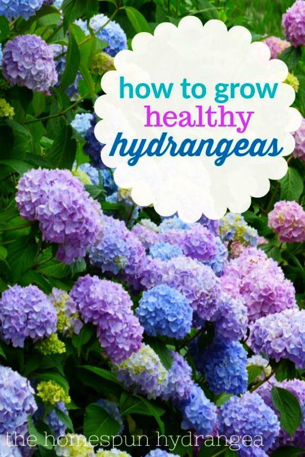Gardening Tips For Rose Flower Toward Gardening Tips For Preppers To Organic Vegetable Gardening Tips Growing Hydrangeas Hydrangea Care Hydrangea Garden