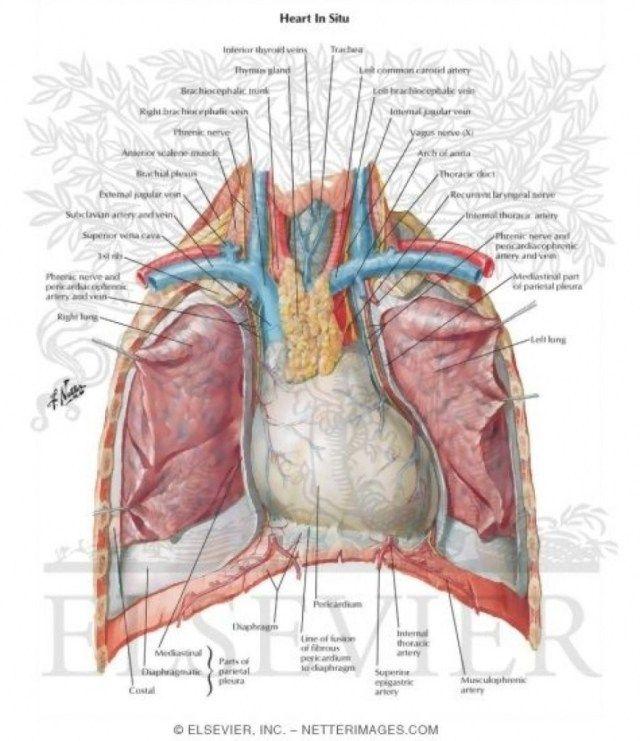Human Chest Anatomy Diagram Koibana Info Anatomy Thoracic Cavity Muscle Diagram
