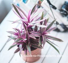 How to grow Moses in the Cradle (aka Moses in a Boat) indoors. Easy care and beautiful green and purple leaves make Tradescantia spathacea a must-have house plant. Get growing tips here.