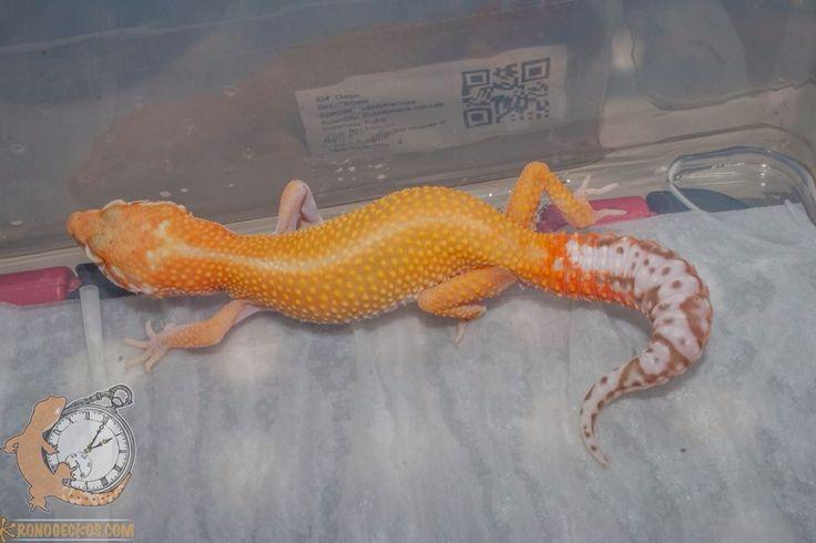 gecko leopardo bell sunglow het radar