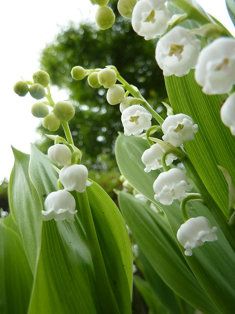 Lily of the Valley via Flickr.