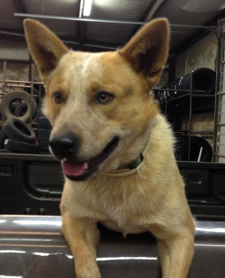 Australian Cattle Dog-Red Heeler | Dogs | Pinterest