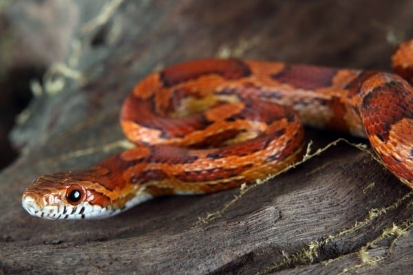 How Much Does A Corn Snake Bite Hurt With Images Pet Snake
