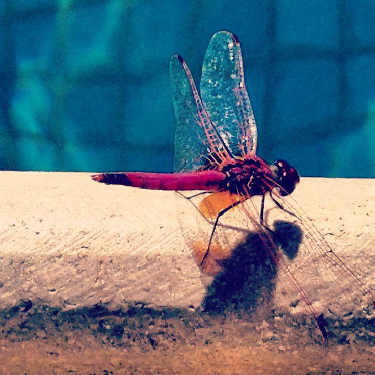 Pinky purple dragon fly