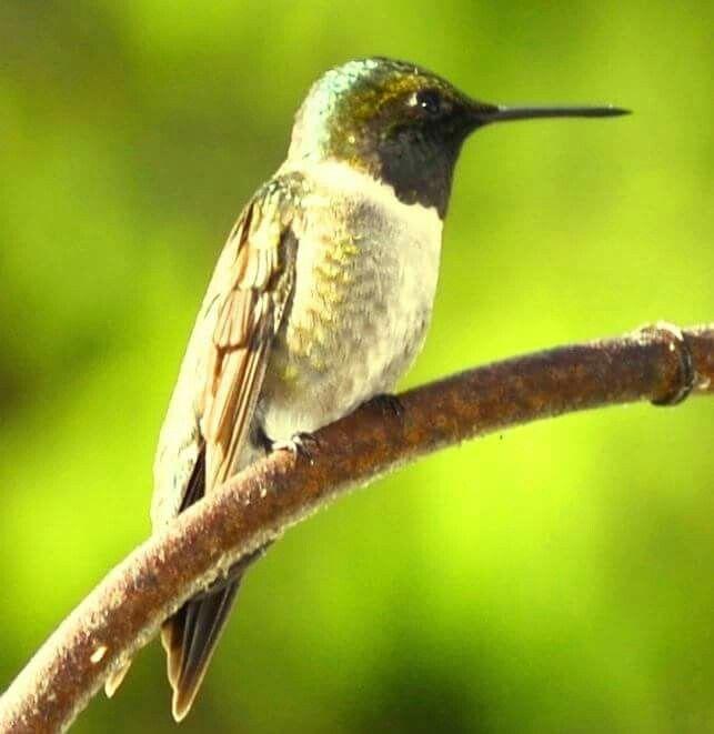 Hummimgbird in #DorsetOntario