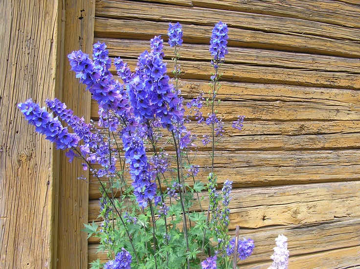 Ritarinkannuksia Aschanin talon aitan seinustalla. / Larkspurs (Delphinium) close to the wall of storehouse of Aschan House, Heinola, Finland.