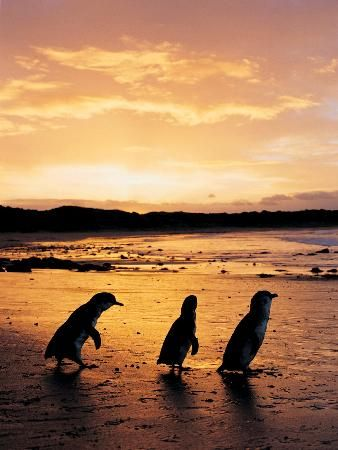 Hoping to see the Penguin Parade: Cape Woolamai @ Phillip Island Nature Parks
