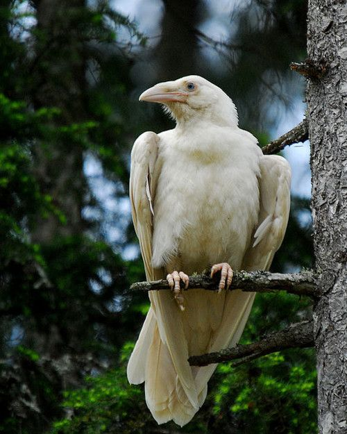 """The White Ravens of Qualicum Beach, Vancouver. -- The birds are said not to be """"albino,"""" but """"leucistic,"""" a genetic defect resulting in birds that lack normal pigmentation. (""""Albinism"""" is a result of the reduction of melanin.) They first appeared in Vancouver about 10 years ago, which is now known as the """"White Raven Capital of the World."""""""